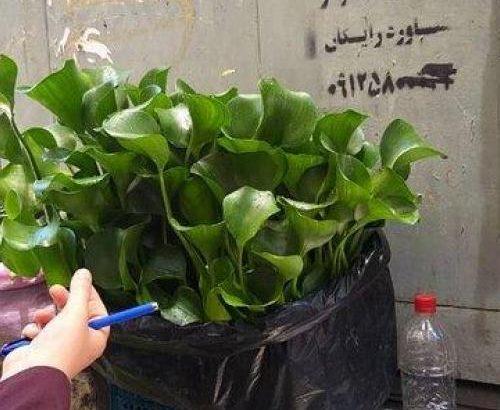 فروش یک گیاه سرطانزا در تهران+ عکس