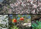 قالیچه رنگارنگ گلهای بهاری/ ردپای لالههای واژگون در جنگل و صحرا