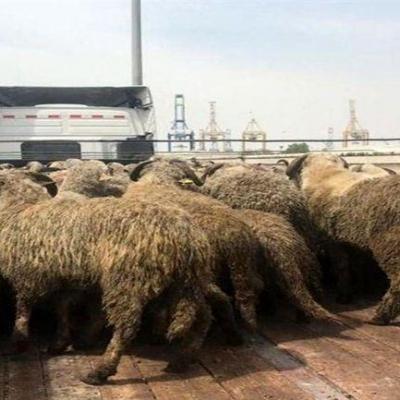 گم شدن گوسفندان وارداتی قبل از توزیع، کذب است/ گوسفندان دم دراز سبب ثبات قیمت در بازار گوشت شدهاند/ بازار عرضه قیمت گوشت را پائین نمیآورد!